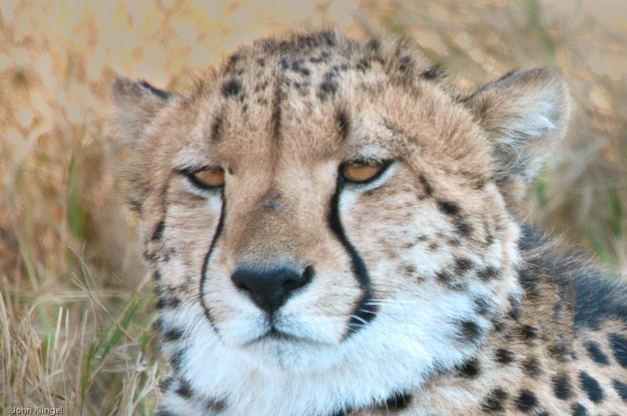 100-Cheeta