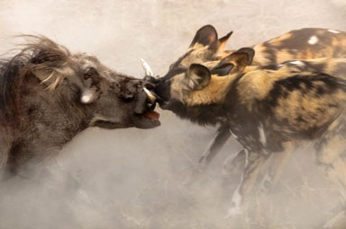 101-Wild-Dogs-Killing-A-Warthog