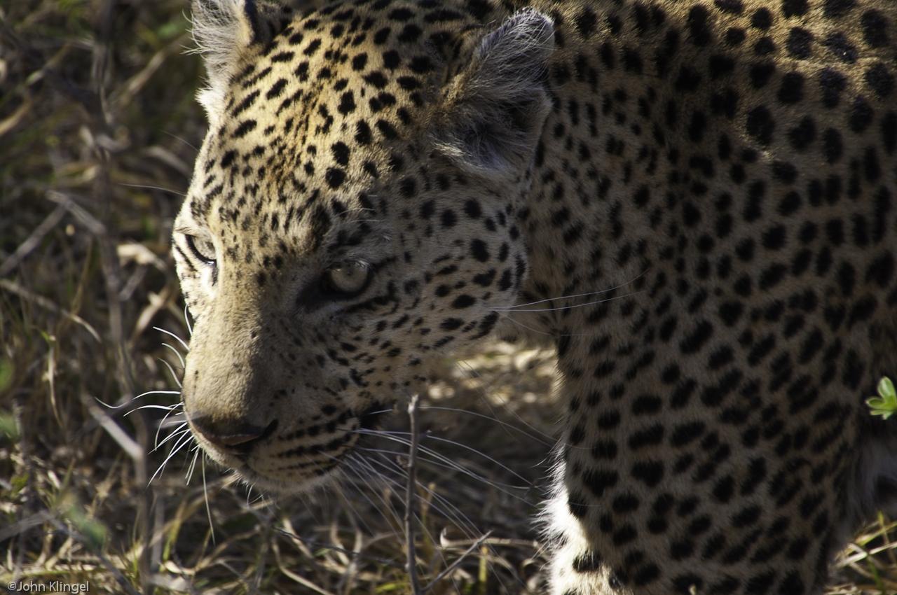 102-Leopard