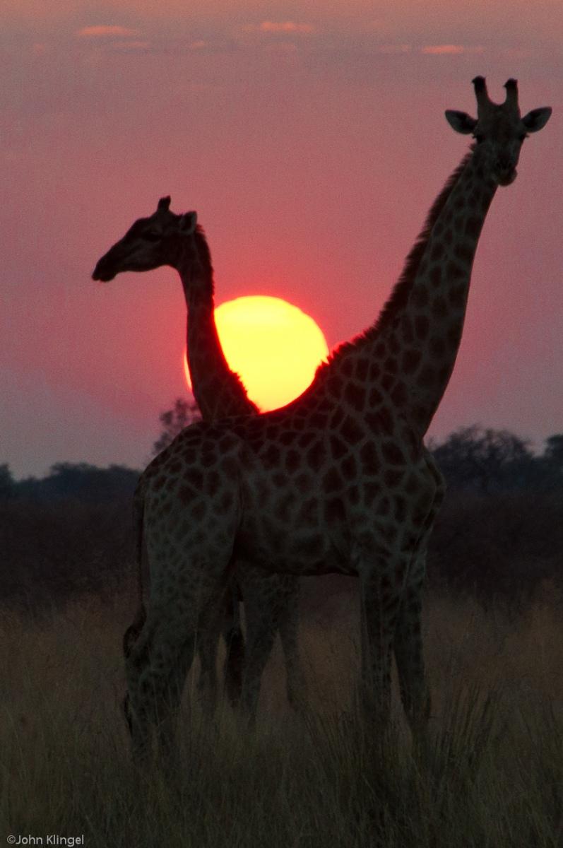 103-Giraffes