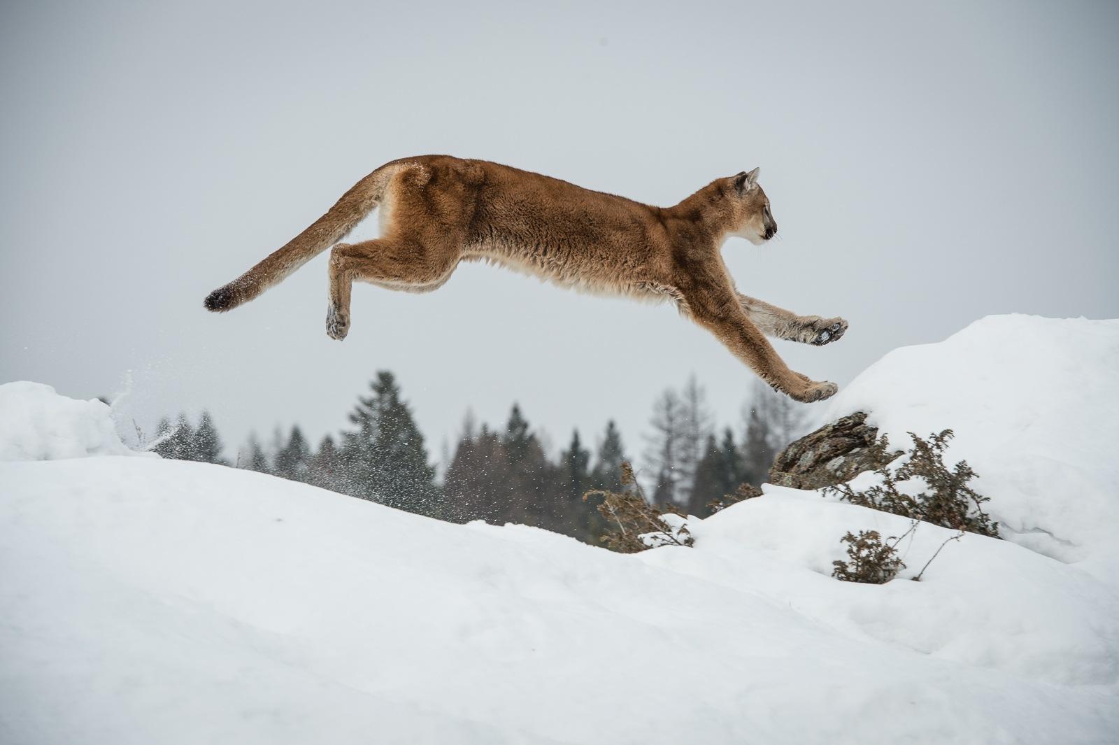 107-Mountain-Lion