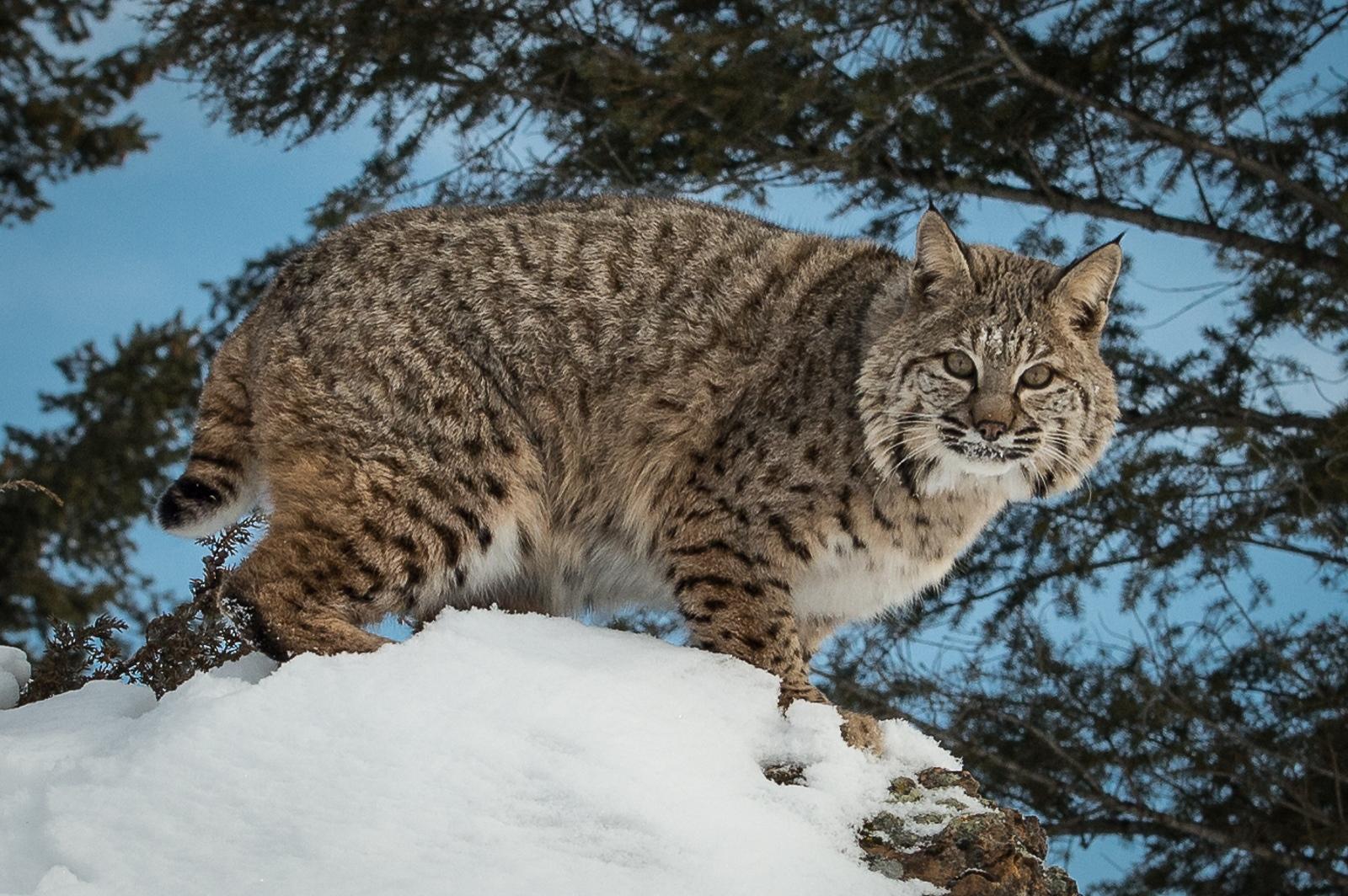 108-Bobcat