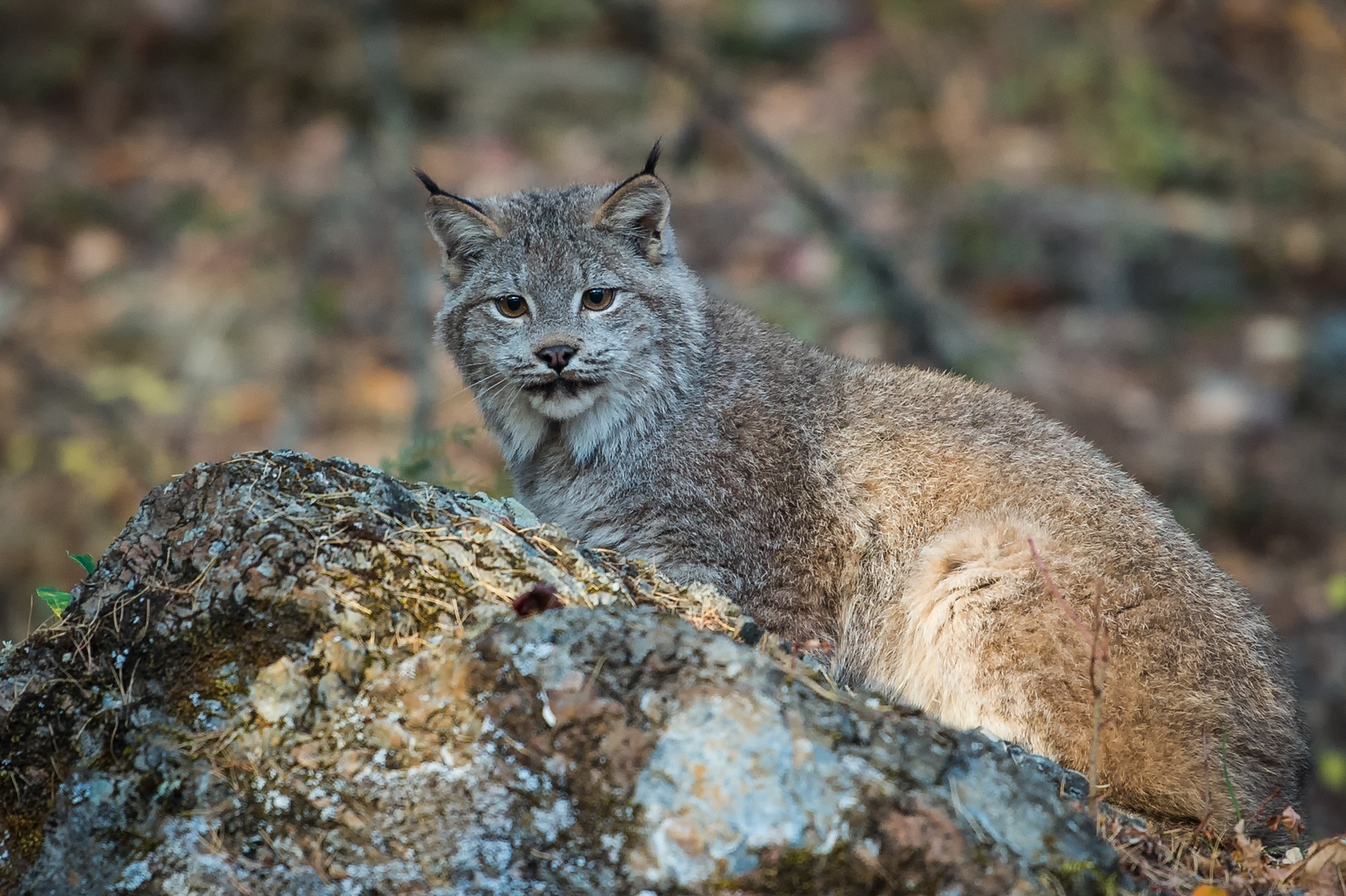 111-Lynx