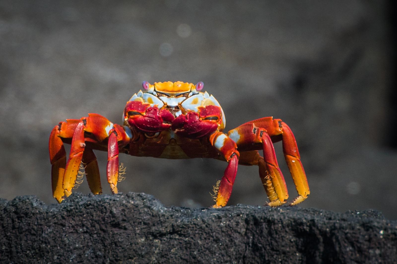 116-Crab
