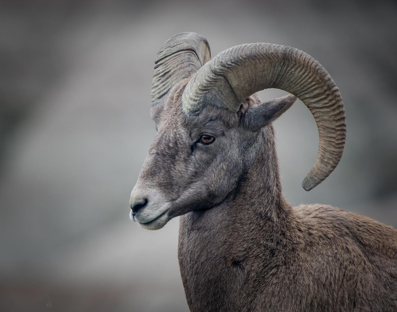 12-Big-Horn-Sheep
