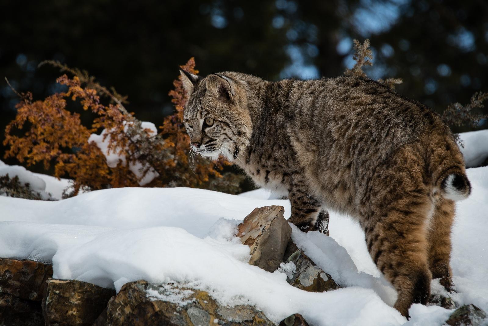 121-Bobcat