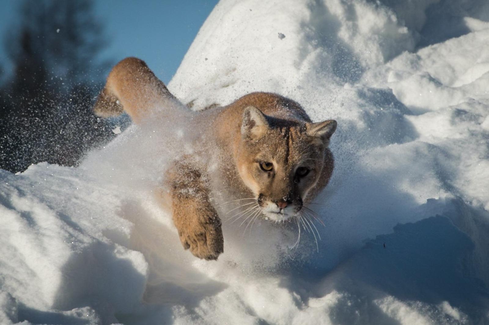 130-Mountain-Lion