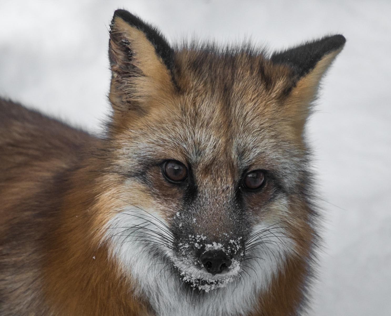 134-Cross-Fox