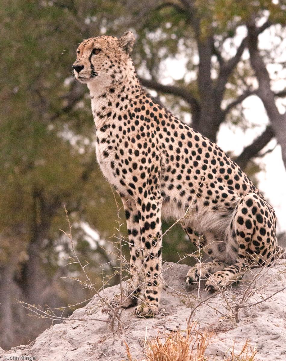 135-Cheeta