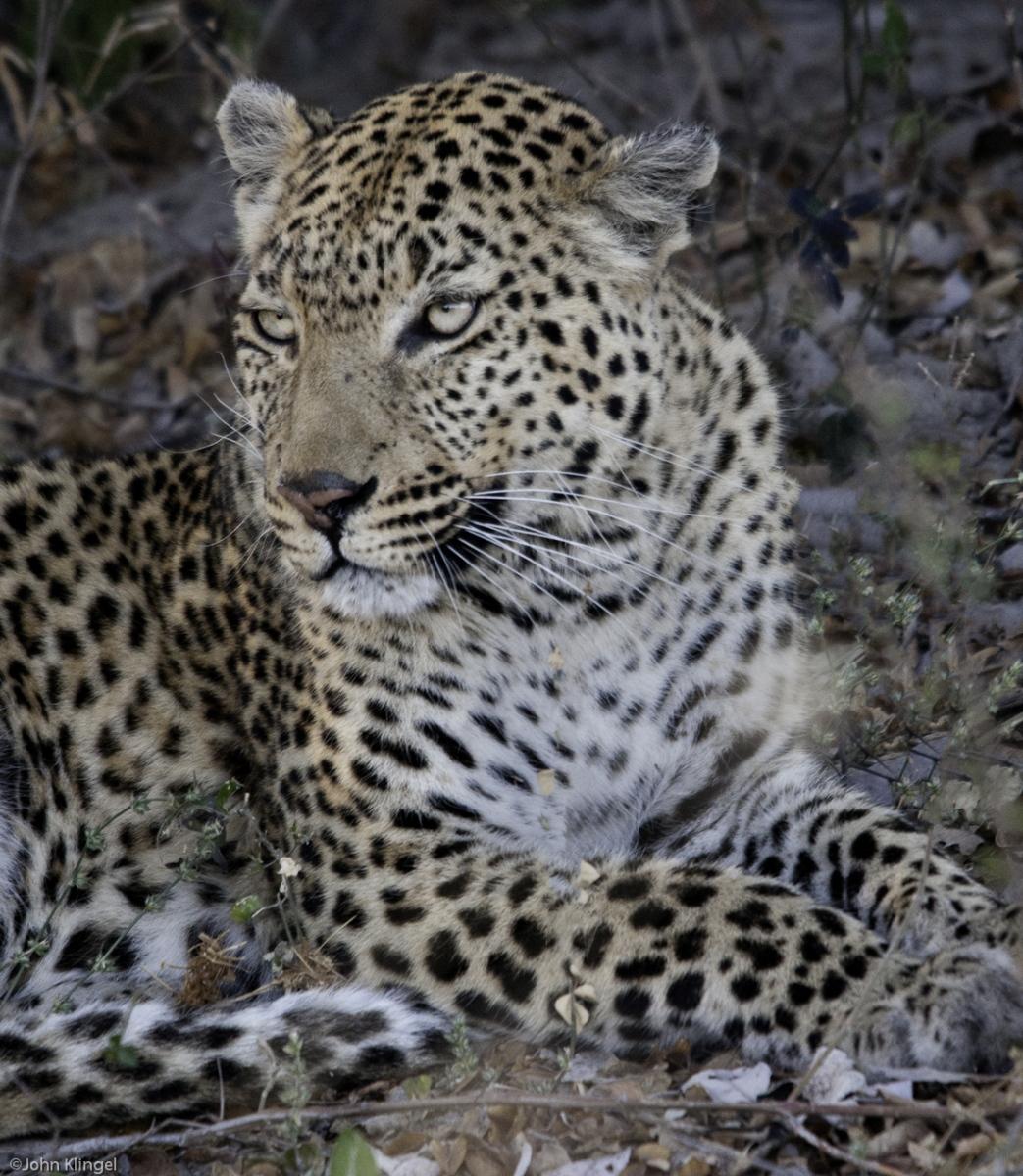136-Leopard