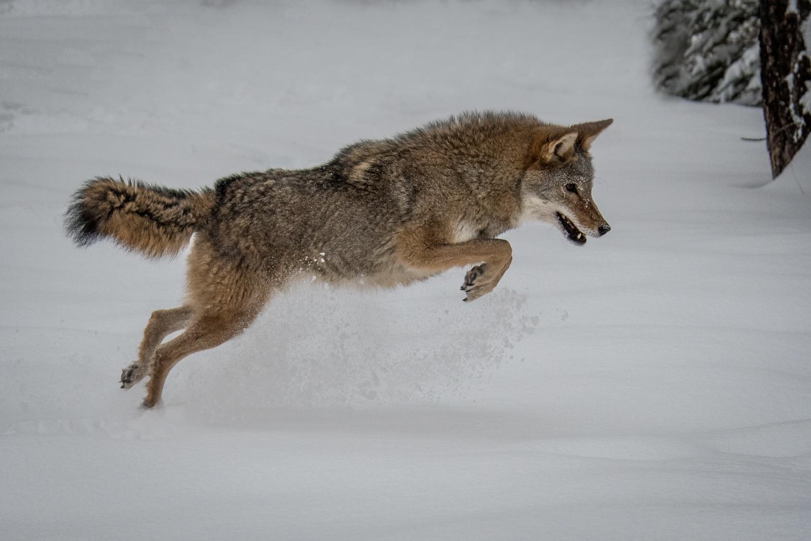 139-Coyote