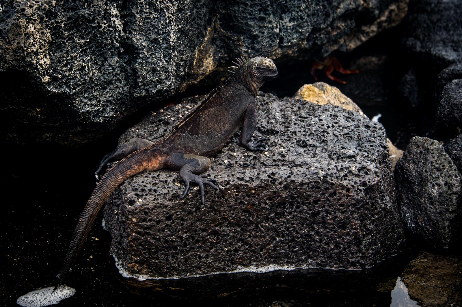 144-Iguana