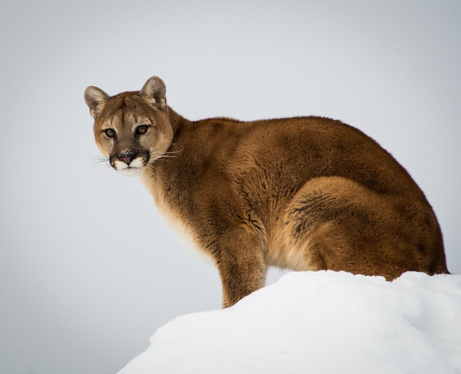 145-Mountain-Lion