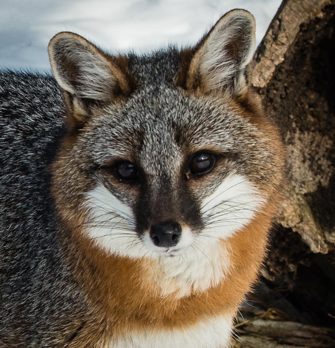 150-Cross-Fox