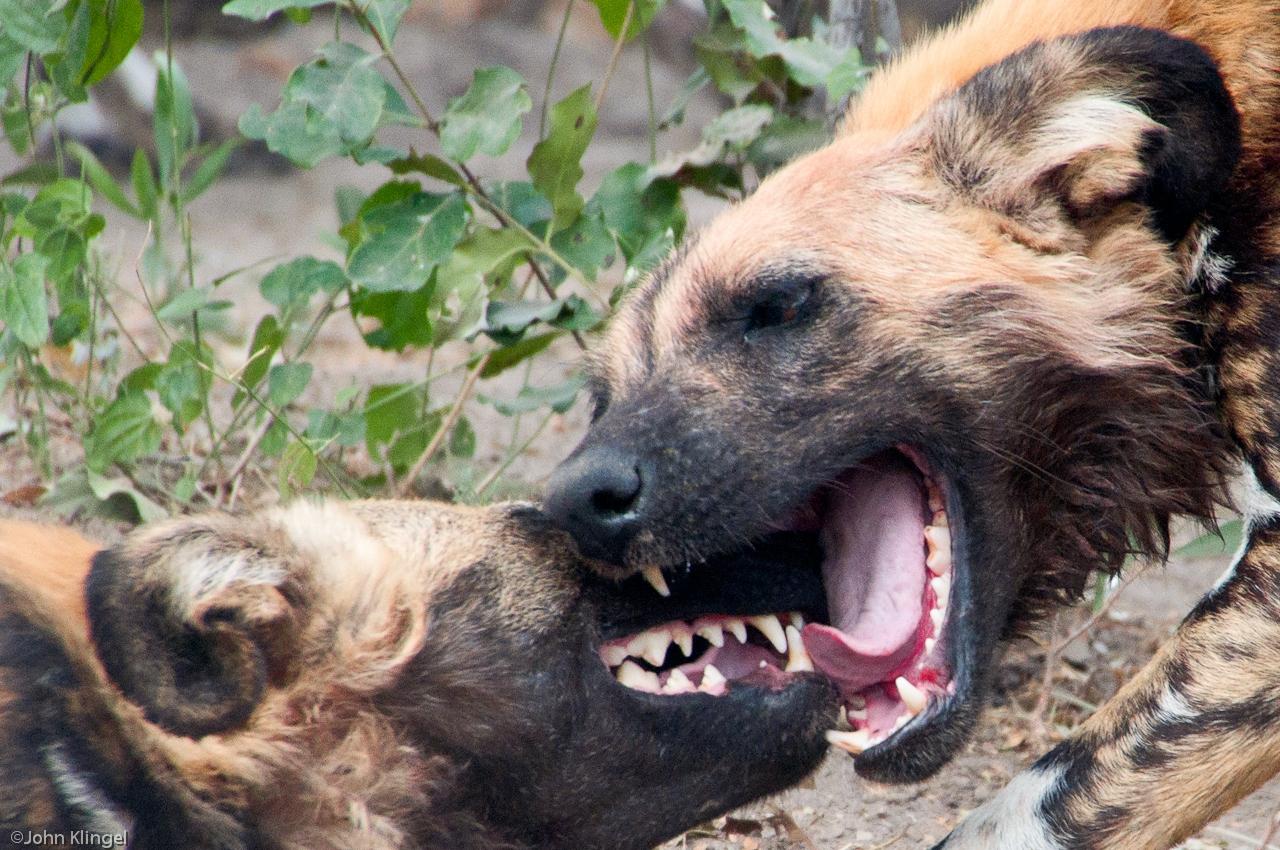 157-Wild-Dogs