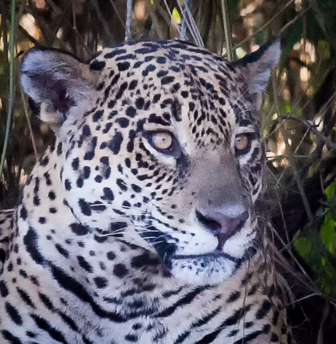 159-Jaguar