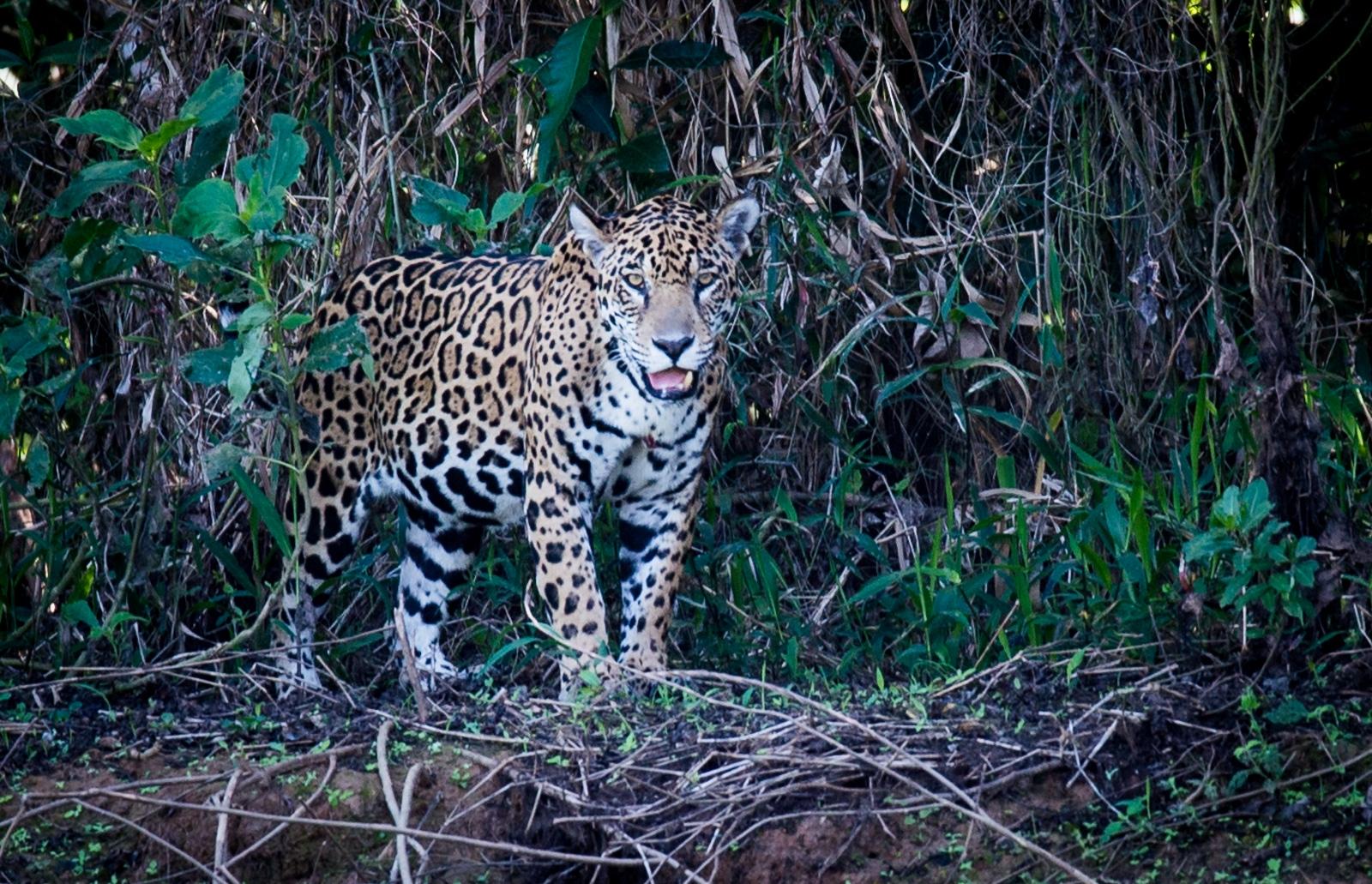 161-Jaguar
