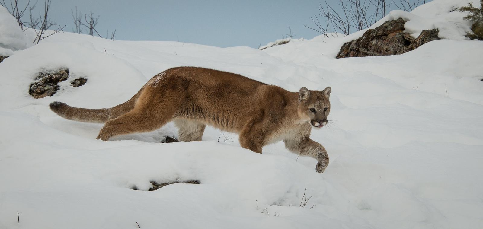 163-Mountain-Lion