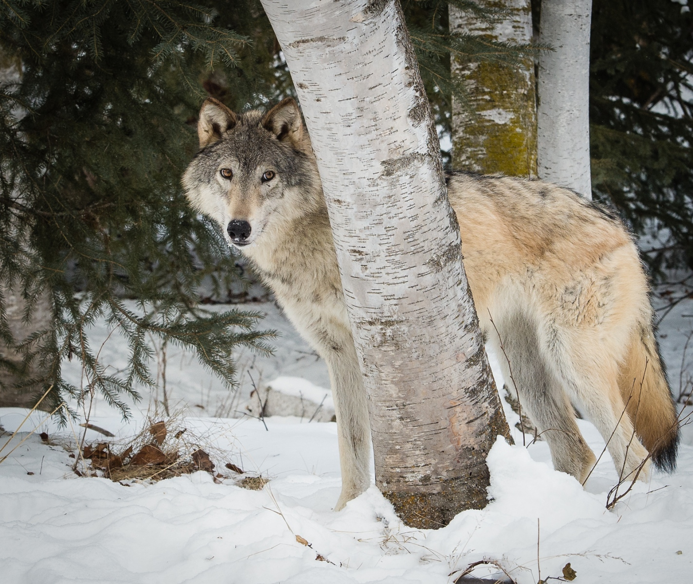 165-Wolf