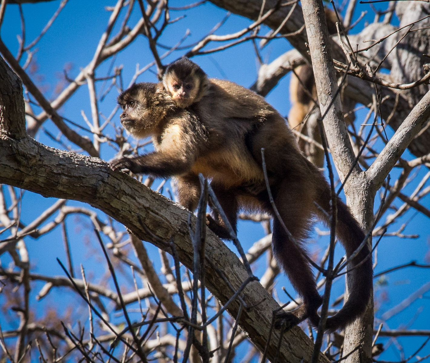 166-Brown-Capuchin-Monkey-baby