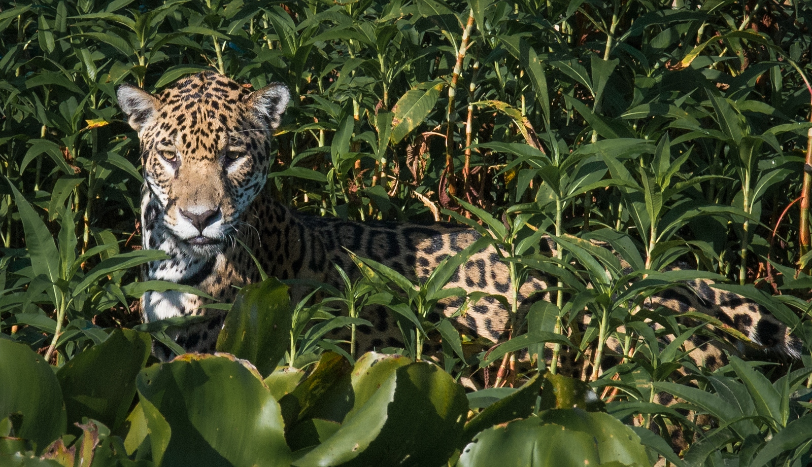 170-Jaguar