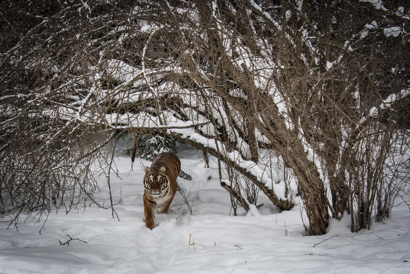 175-Tiger