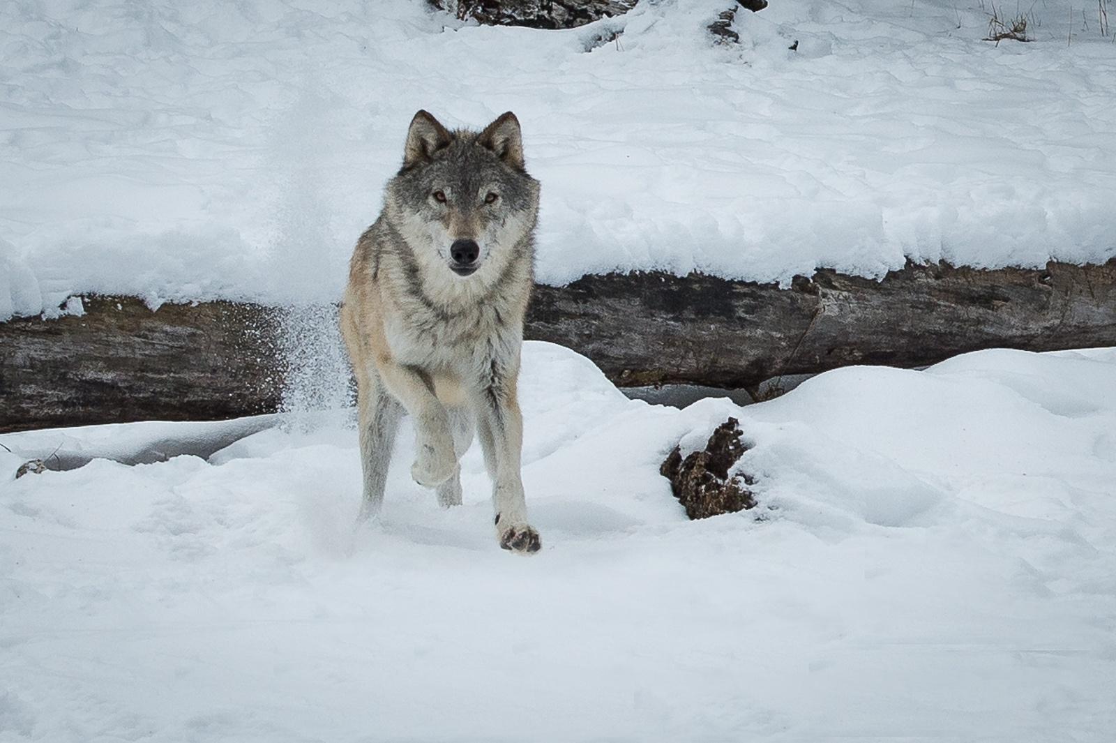 178-Wolf