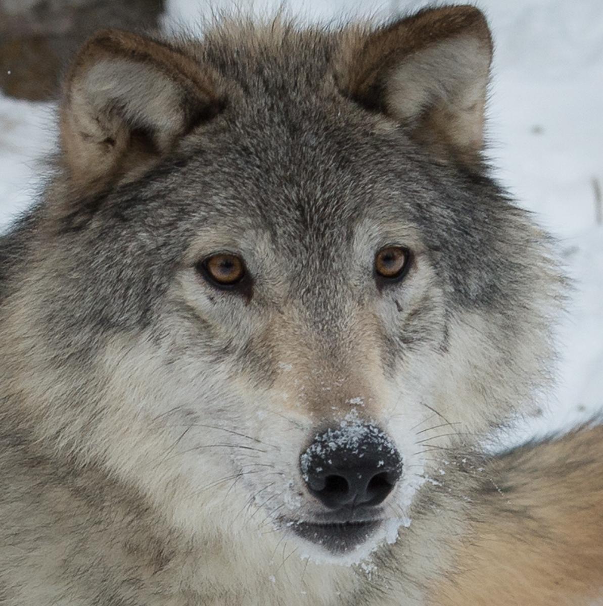 182-Wolf
