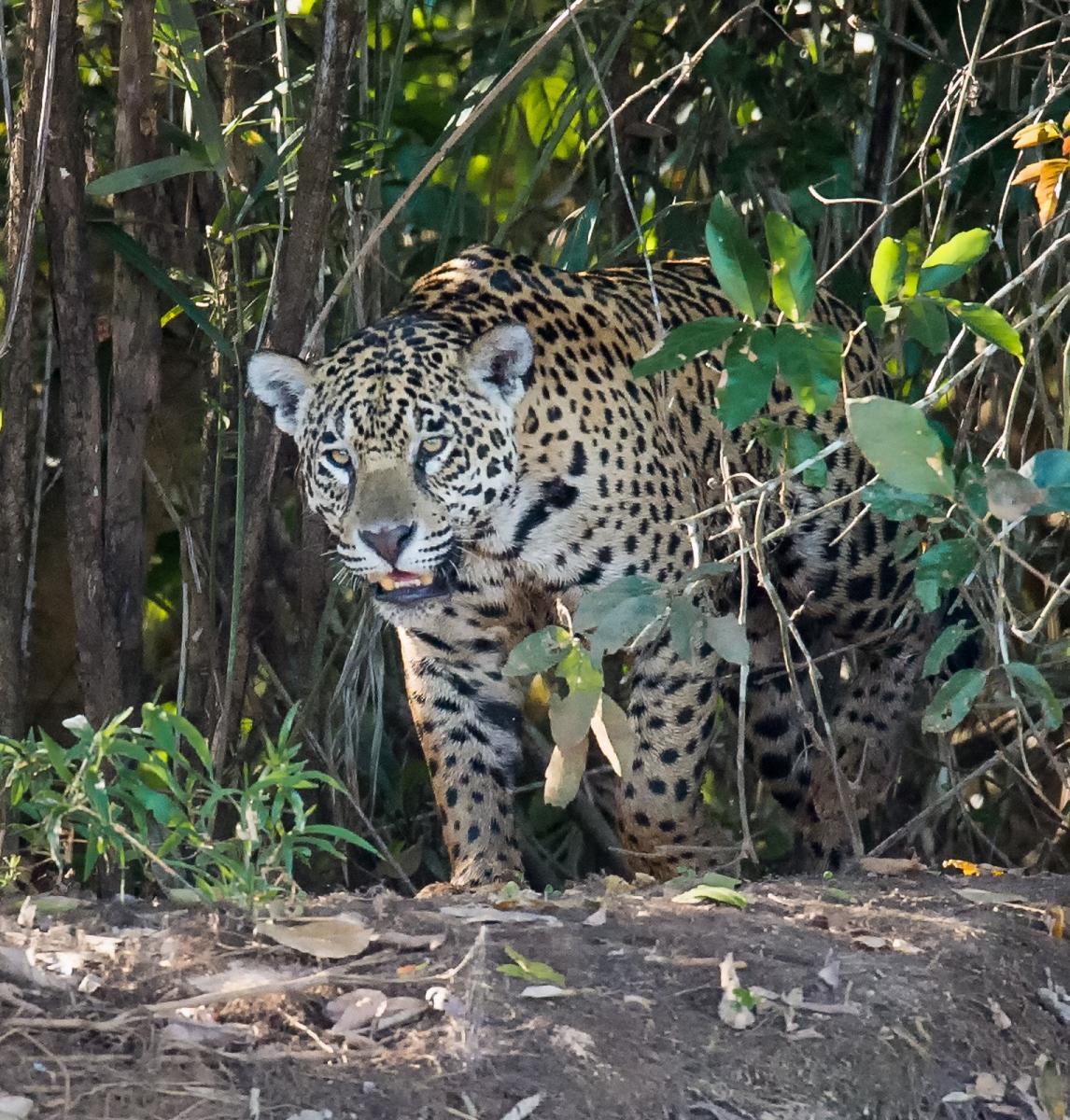 183-Jaguar