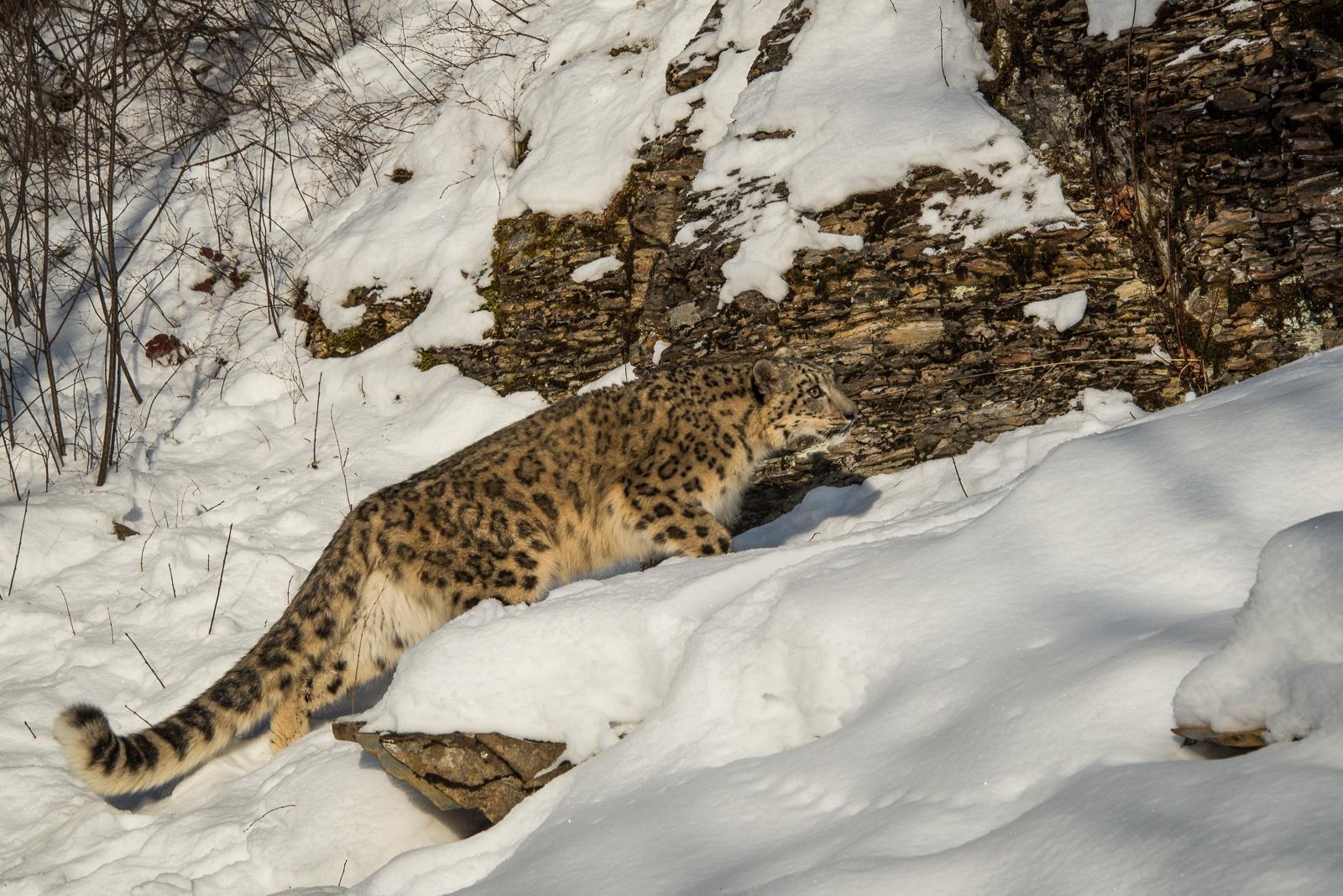 188-Snow-Leopard