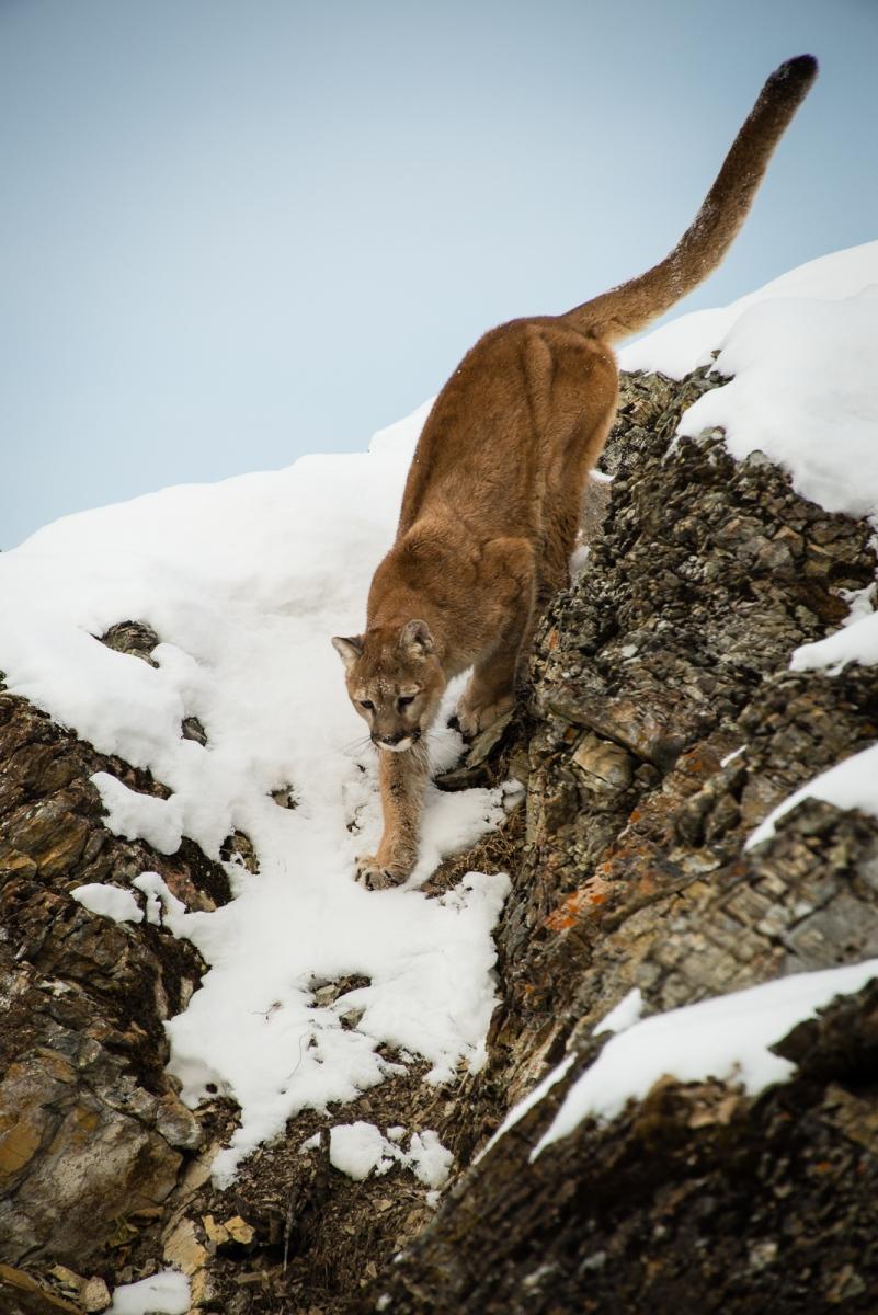189-Mountain-Lion