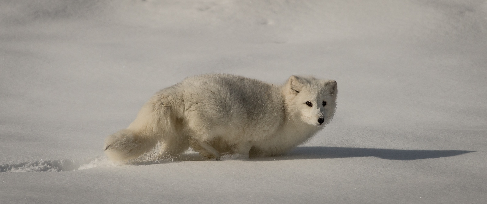 190-Artic-Fox
