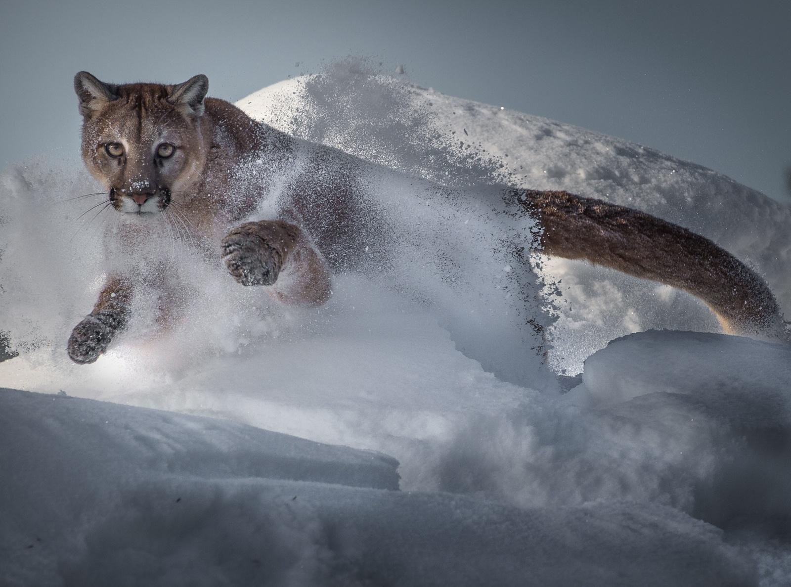 1_1-Mountain-lion