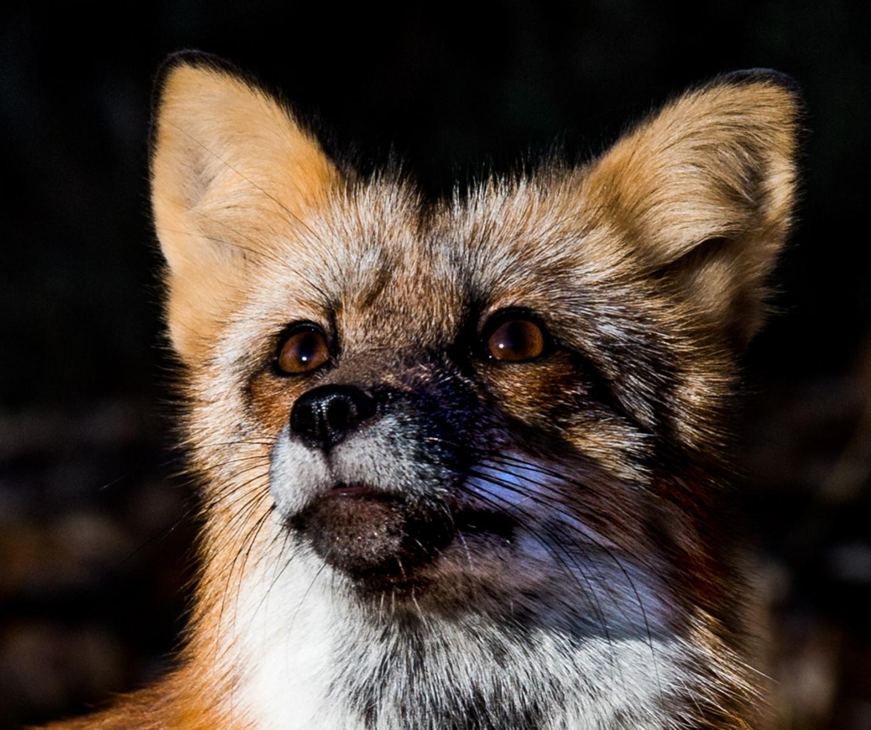 67-Fox