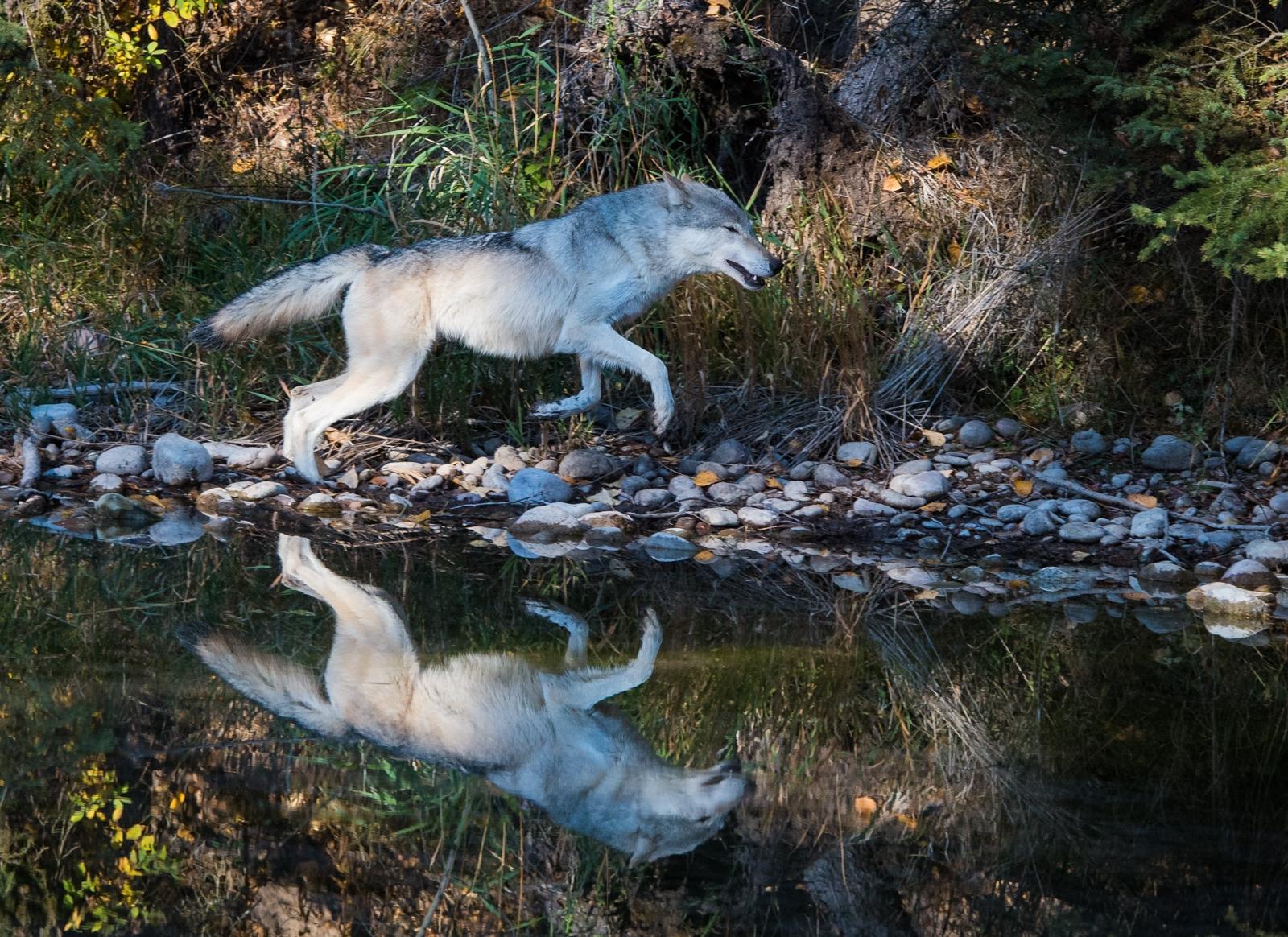 68-Wolf