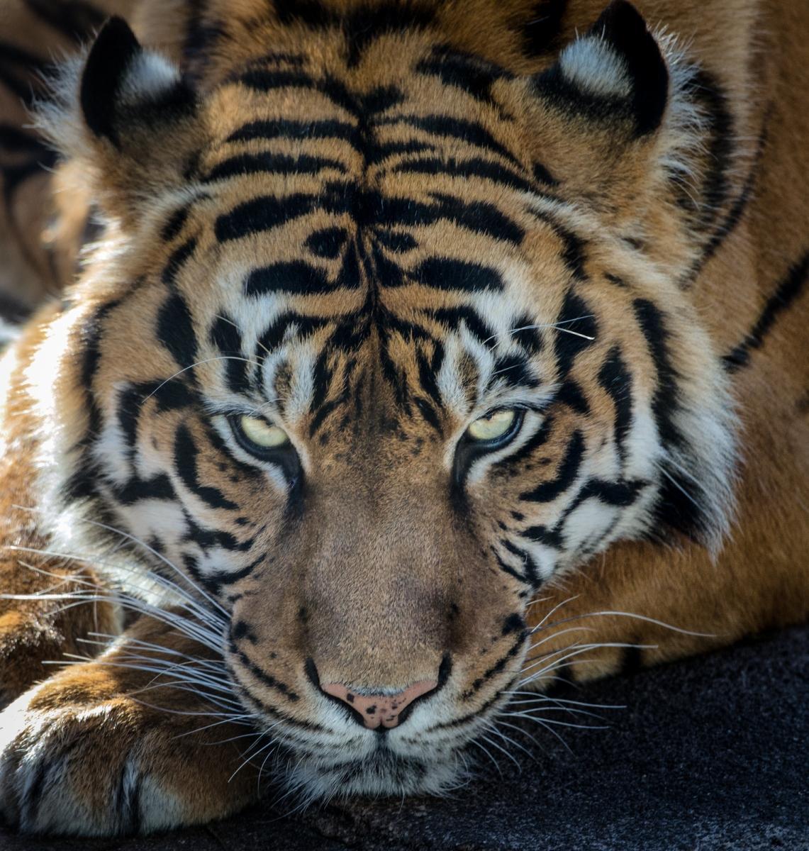 8-Tiger