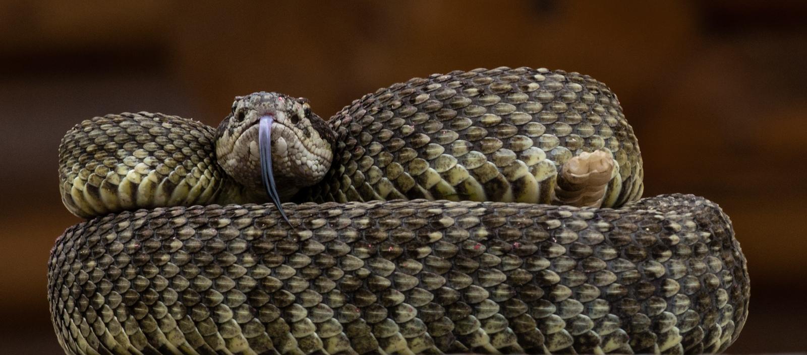 81-Rattle-Snake