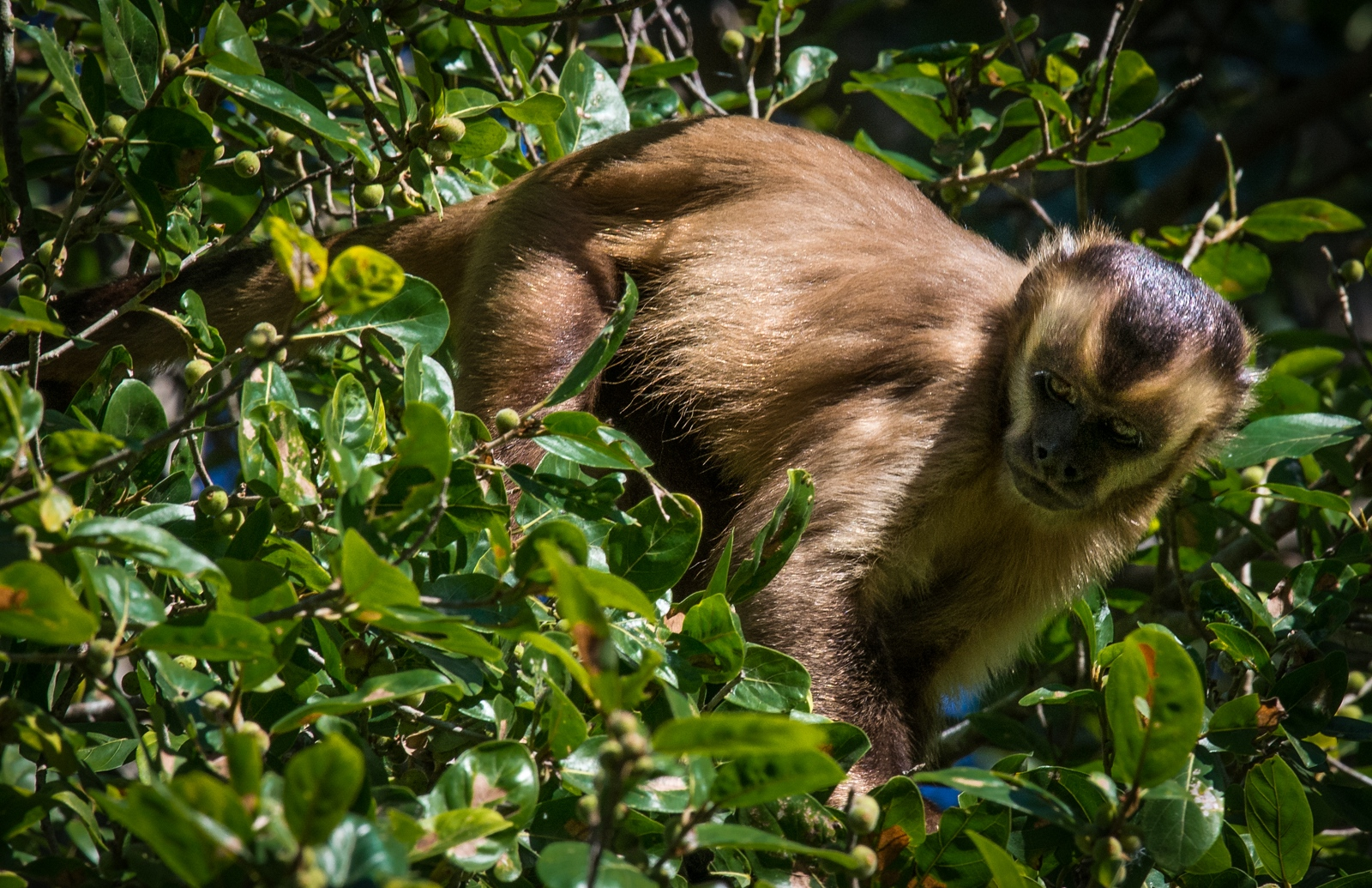 86-Brown-Capuchin-Monkey