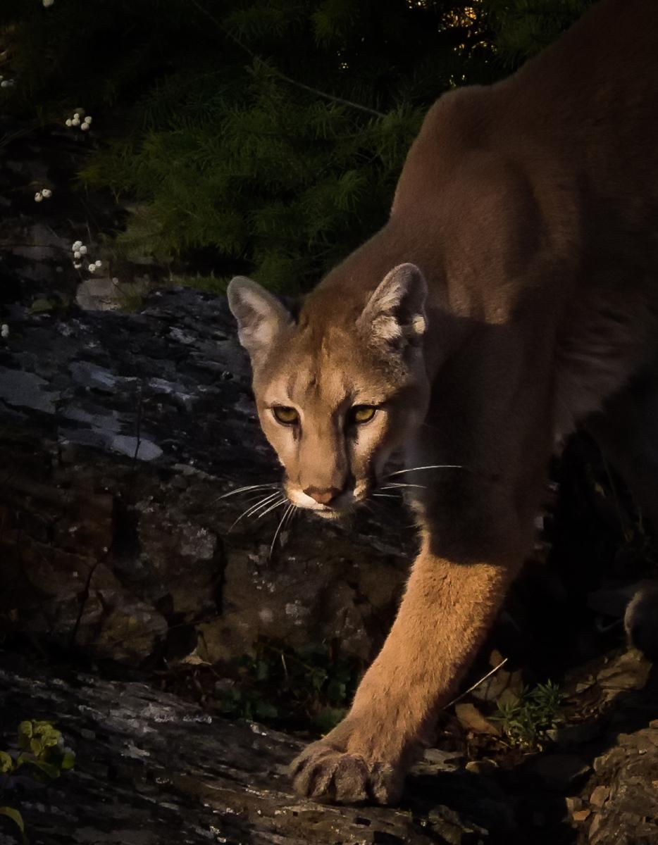 87-Mountain-Lion