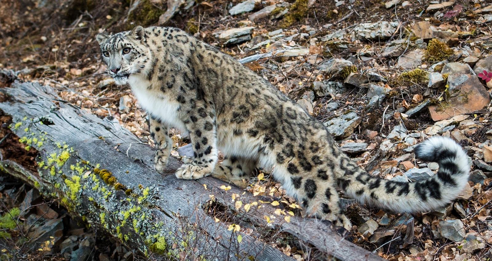 90-Snow-Leopard