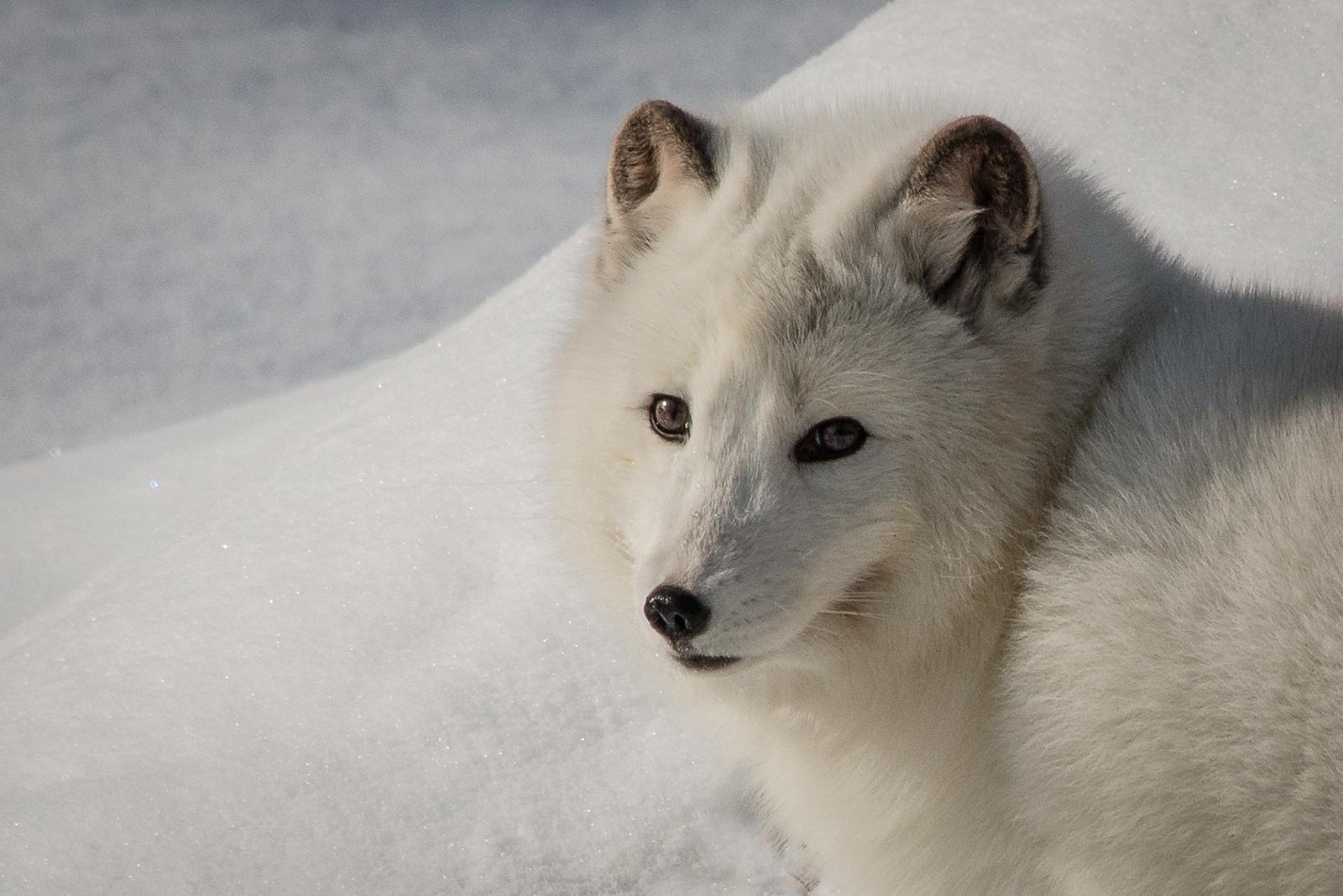 94-Artic-Fox