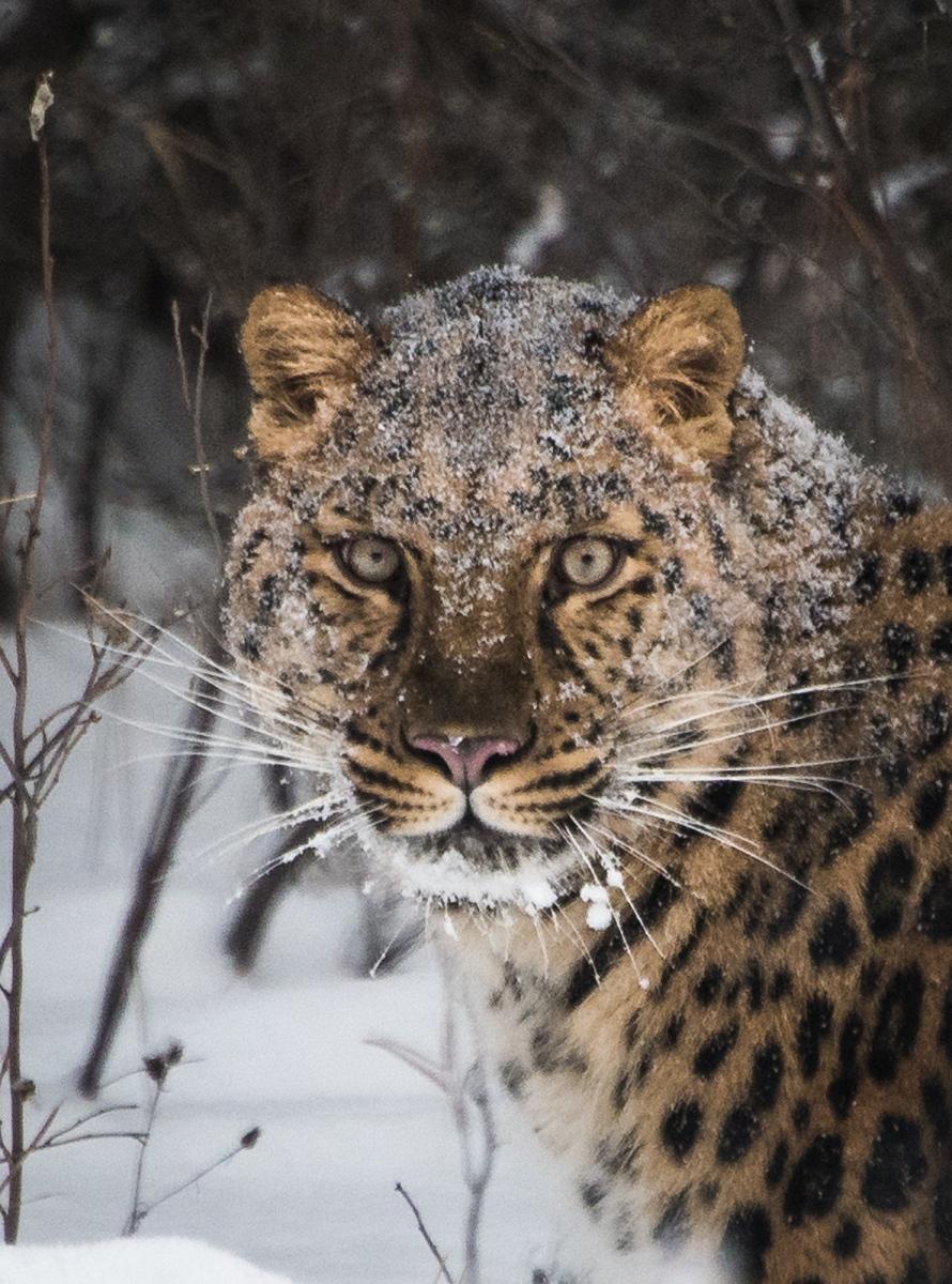 98-Amur-Tiger