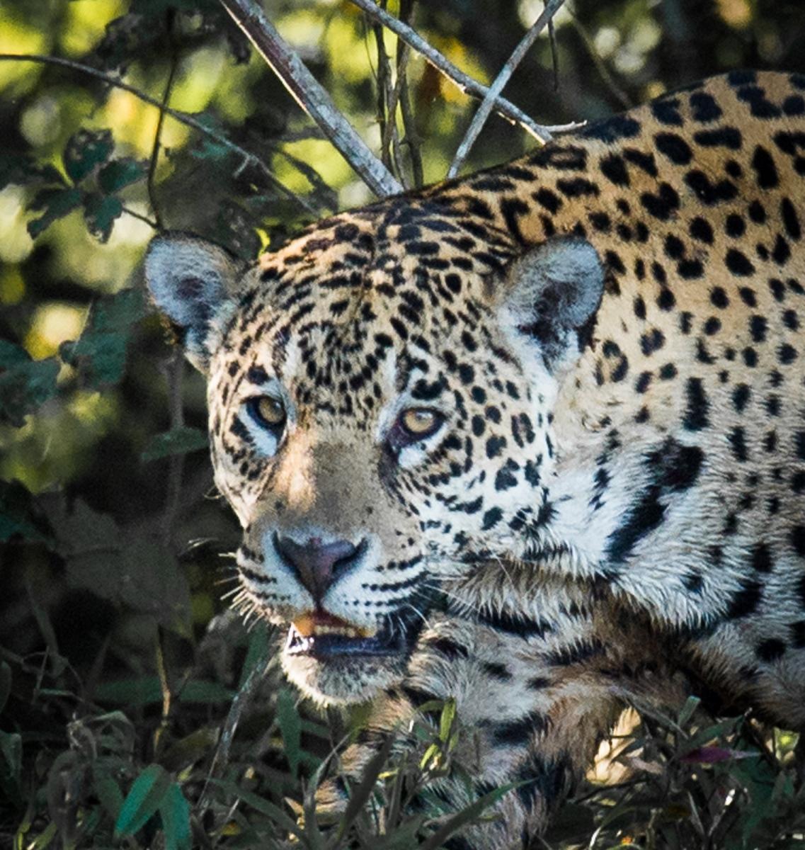 99-Jaguar
