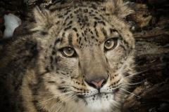 106-Snow-Leopard