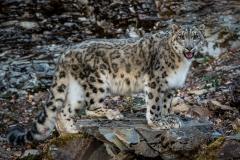 112-Snow-Leopard