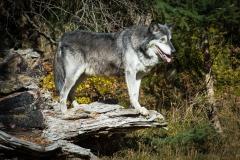 113-Wolf