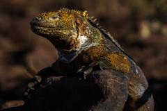 115-Iguana