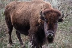 117-Bison