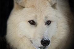 118-Wolf