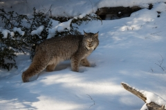 119-Lynx